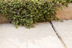 Garden green moss with leaves on a concrete curb closeup. Decorative garden green moss with leaves on a concrete curb closeup. Soft focus Stock Photo