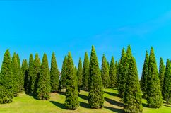 Garden of green pine trees with clear blue sky Stock Photo