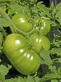 Garden Green Tomatoes. These are big green beefsteak tomatoes growing in a raised bed garden. The largest tomato was  almost 2 pounds Stock Images