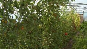 Garden in Greenhouse. Handheld, panning, medium wide shot of a garden in a greenhouse stock video