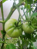 In the garden greenhouse, ripening green tomatoes on the branch of a Bush plant. tomate in the garden. Growing tomatoes in the garden. Green unripe tomatoes in Stock Photo