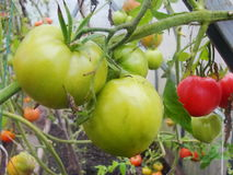 In the garden greenhouse, ripening green tomatoes on the branch of a Bush plant. tomate in the garden. Stock Photo