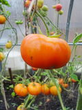 In the garden greenhouse, ripening red and yellow tomatoes on the branch of a Bush plant. tomate in the garden. Royalty Free Stock Photography