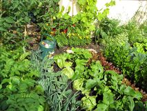 Garden of greens. A small garden planted in rows with different green plants and vegetables royalty free stock image