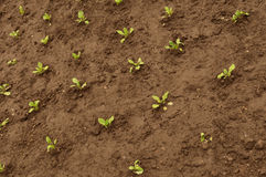 Cultivated field. Ground with green sprig texture royalty free stock photography