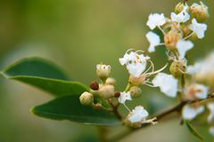A bunch of little white flowers royalty free stock images