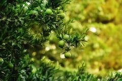 Citrus garden Royalty Free Stock Photo