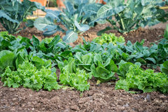 Garden, grow vegetables, young shoots of lettuce Stock Photo
