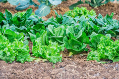 Garden, grow vegetables, young shoots of lettuce Royalty Free Stock Photos