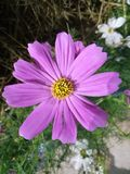 Purple cosmos. In the garden have purple cosmos look fresh and beauty Royalty Free Stock Photography