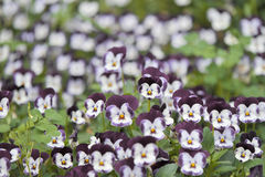 Garden Heartsease Flowers Royalty Free Stock Images