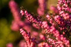 Garden heather in low sun Royalty Free Stock Photography