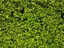 Garden Hedge Stock Image