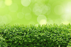 Garden hedge. Box hedge - spring garden concept Royalty Free Stock Photos