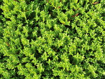 Garden Hedge. Leafy Green Garden Hedge Background Royalty Free Stock Photography