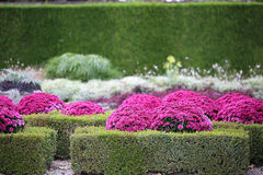 Garden with Hedges and Chrysanthemum Royalty Free Stock Photography
