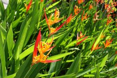 Garden of Heliconia-Psittacorum False Bird of Paradise Flowers Royalty Free Stock Images