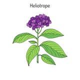 Garden heliotrope Heliotropium peruvianum , fragrant perennial plant Stock Image