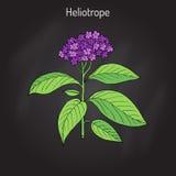 Garden heliotrope Heliotropium peruvianum , fragrant perennial plant Stock Photos