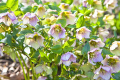 Garden Hellebore Stock Photo