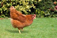 Garden Hen. A chicken roaming around a garden Stock Photo