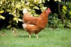 Garden Hen. A chicken roaming around a garden Royalty Free Stock Photo