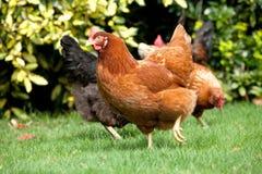 Garden Hen. A chicken roaming around a garden Royalty Free Stock Image