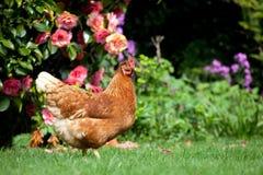 Garden Hen. A chicken roaming around a garden Royalty Free Stock Photos