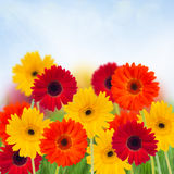 Garden of herbera flowers Stock Photography