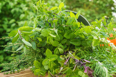 Garden herbs, medicinal plants Stock Photos