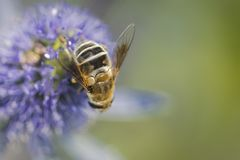 Bees and flowers Stock Photography