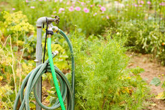 Garden hose. Growing organic vegetables in community garden stock photos