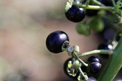 Garden Huckleberry Solanum melanocerasum. Fruits of a Garden Huckleberry Solanum melanocerasum royalty free stock photo