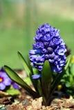 Garden hyacinth (Hyacinthus orientalis) Royalty Free Stock Photos
