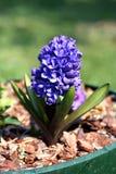 Garden hyacinth (Hyacinthus orientalis) Royalty Free Stock Images