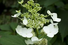 In the garden hydrangea macrophylla saxifragaceae royalty free stock photography