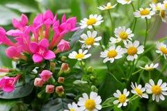 Garden idyll in the summer with daisies. Lüneburg Heath, Germany stock photo