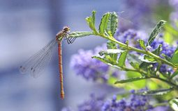 Garden insect. Damselfly at rest on lilac plant Stock Photos