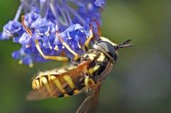 Garden insect. European wasp feeding on pollen stock photo