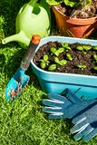Garden inventory with seedlings basil on green. Lawn top view Royalty Free Stock Photo