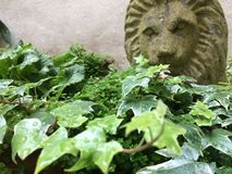 Garden. Ivy with lion's head in background Royalty Free Stock Image