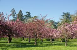 Garden of Japanese cherry trees in flowers Stock Photo