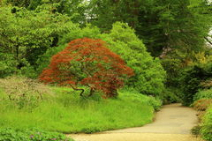 Garden with Japanese red maple tree Royalty Free Stock Photos