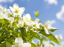 Garden jasmin Royalty Free Stock Image