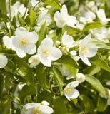 Garden Jasmin Stock Photo