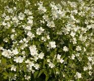 Garden jasmin Stock Images