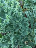 Garden kale leaves. Green garden kale plant with curly healthy green Stock Photography