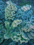 Vegetable garden: kale leaves at sunset stock images