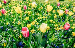 Garden in Keukenhof, tulips and daffodils in the spring. Netherlands Stock Image