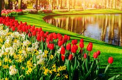 Garden in Keukenhof, tulips and daffodils in the spring. Netherlands Royalty Free Stock Photos